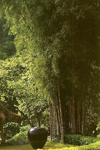 Thyrsostachys-siamensis-Monastery-Bamboo