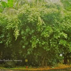 chinese hedge bamboo.