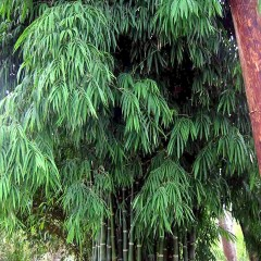 39-Bambusa-sp-nana