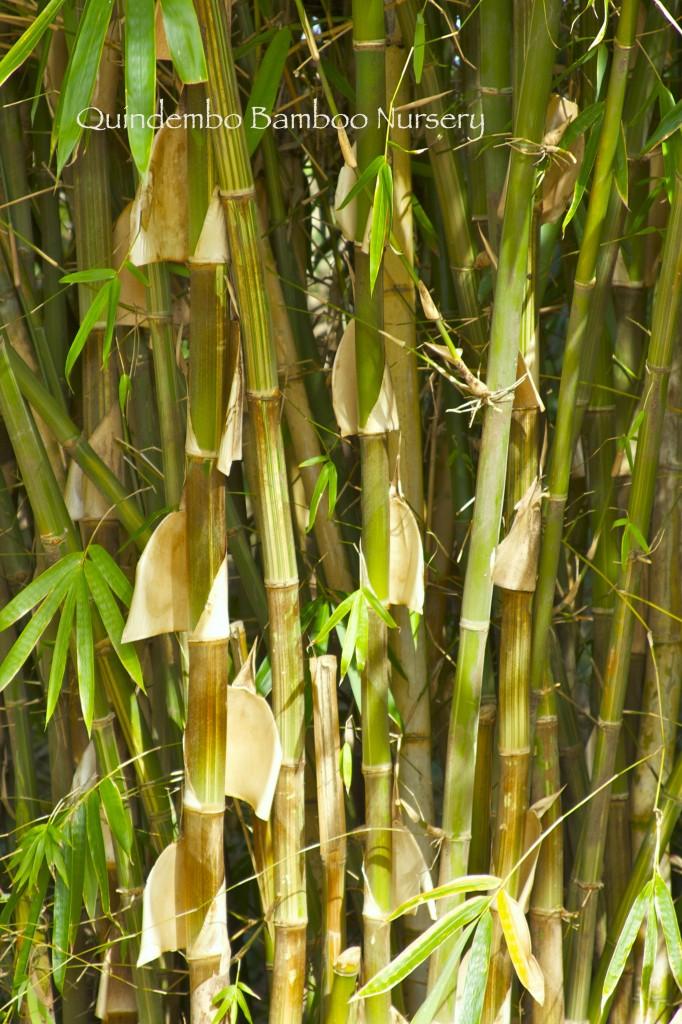 Bali-White-Stripe-detail