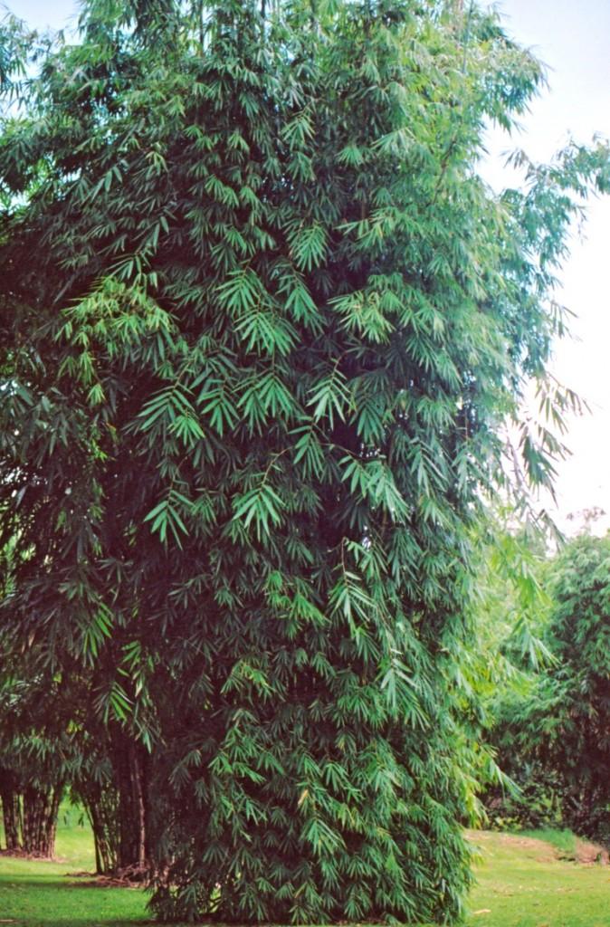 Bambusa-emeiensis_2