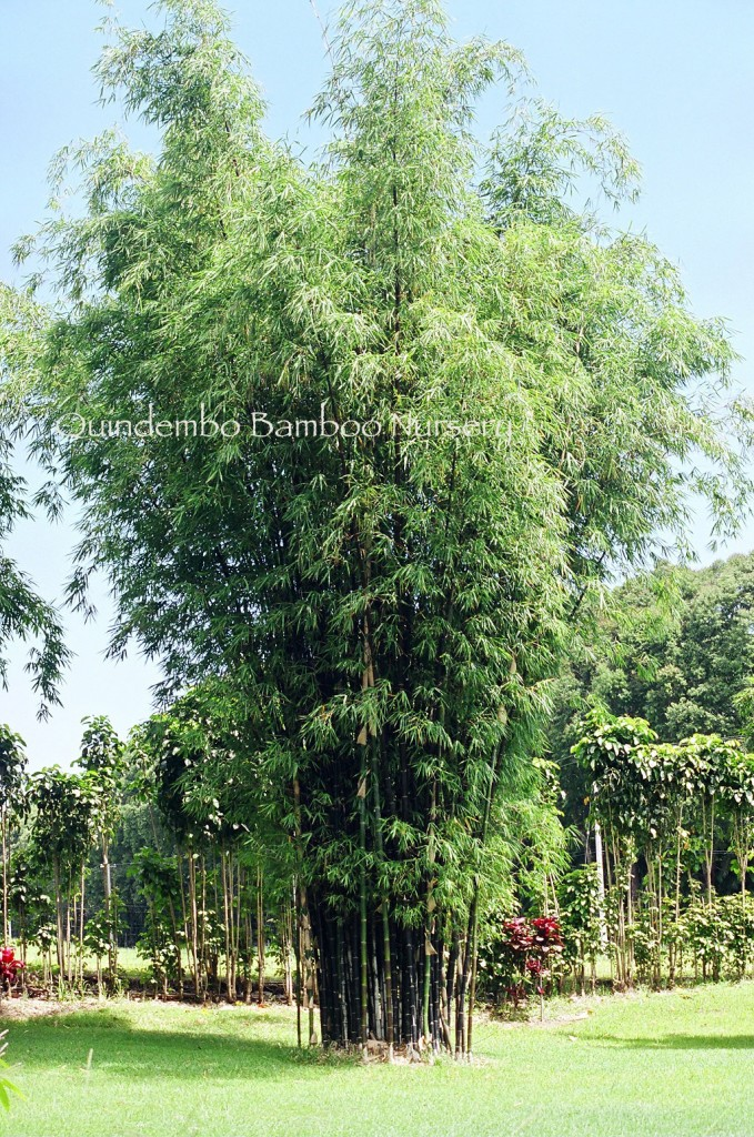 Bambusa lako   Timor Black