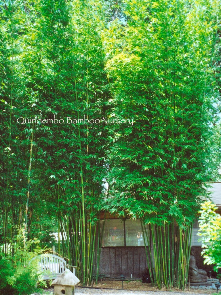 Bambusa-textilis-fasca-Emerald-Bamboo
