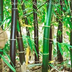 Bambusa lako bamboo.