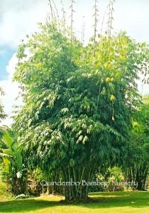 Angel mist bamboo.