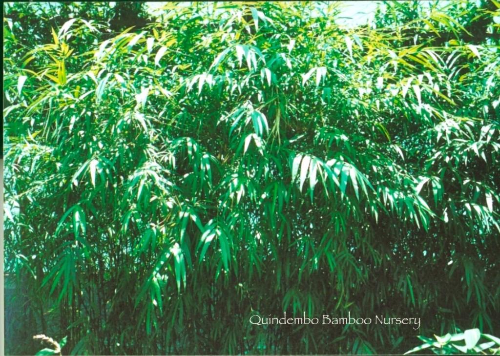 Drepanostachym-khasianum-hedge