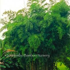 Guadua-angustifolia