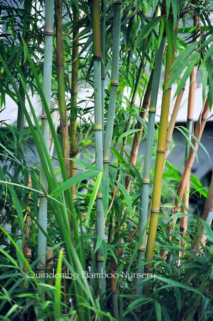 Himalayacalamus Hookerianus Blue Bamboo