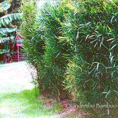 Malay Dwarf as a hedge