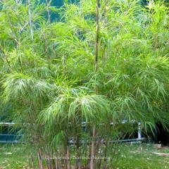 Mayan Silver bamboo.