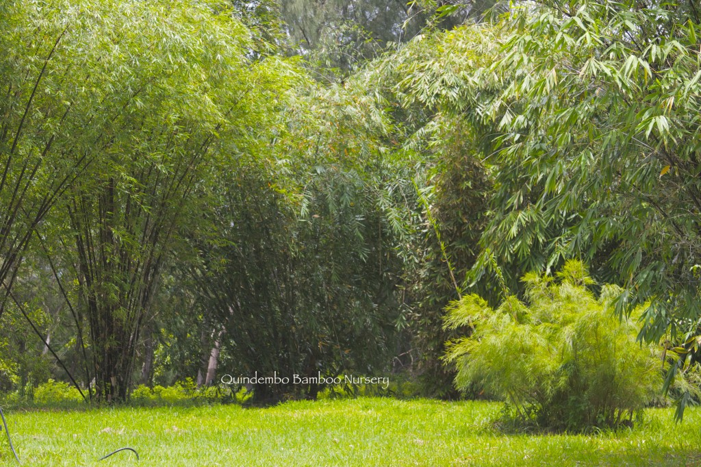 Mayan Sliver bamboo