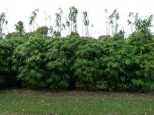 Murrey Island bamboo.