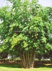 Bambooze