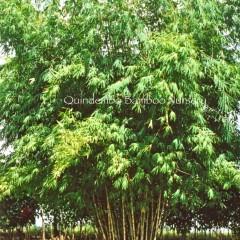 Oxyenanthera-abyssinica-Wine Bamboo