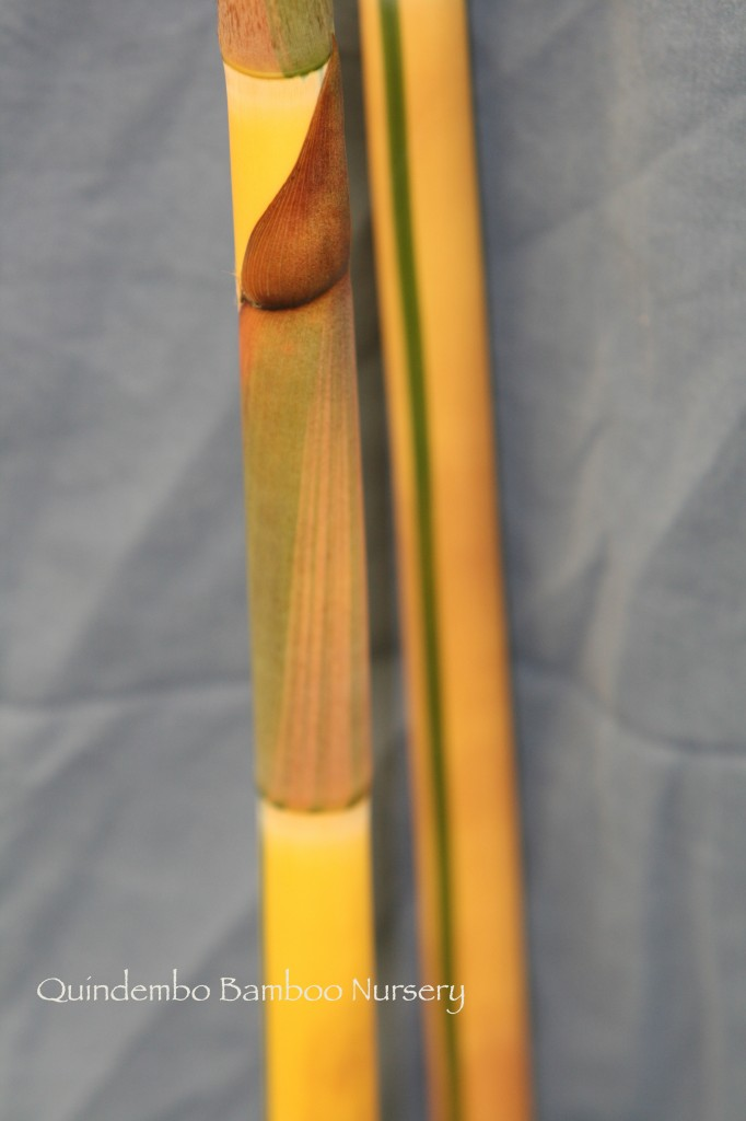 Sacred Bali bamboo.