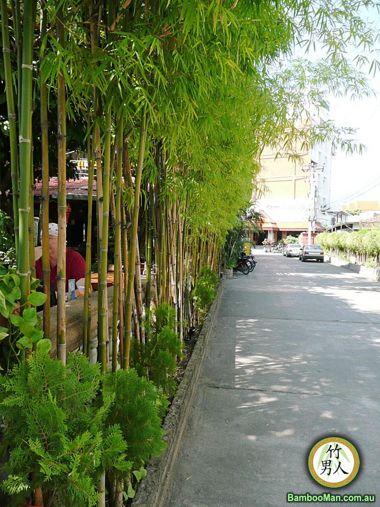bambusa-nana-plants2