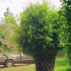 bambusa-pervariabilis_2