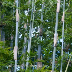 barbie bamboo.