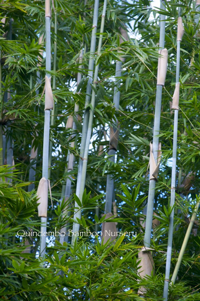barbie bamboo.