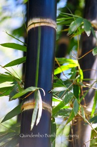 Black asper bamboo.
