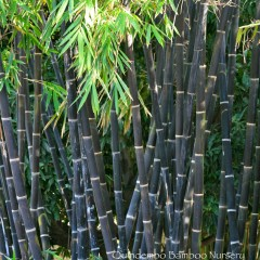 Java black bamboo.
