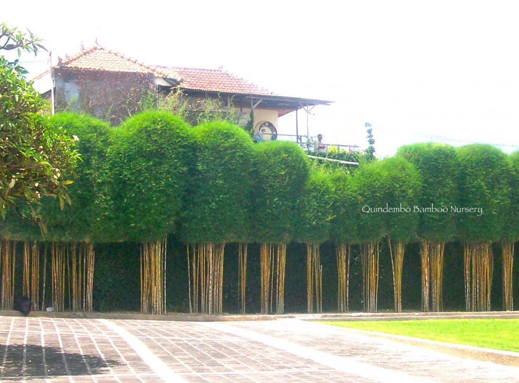 siamensis-hedge-bali_3