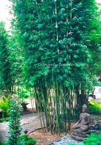 Weaver's Bamboo